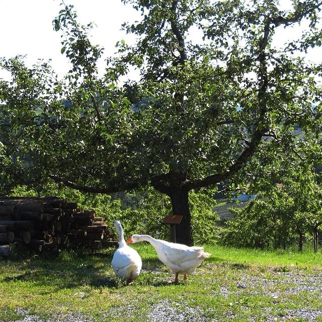 Landidylle_gestern_im_Apfelland_der__Steiermark
