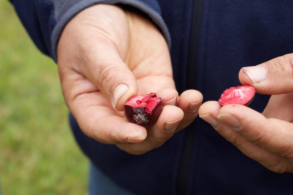 Frankreich Die rote Frucht - Seltene, rotfleischige Apfelsorte veredelt Apfelsäfte und Cidre aus der Normandie