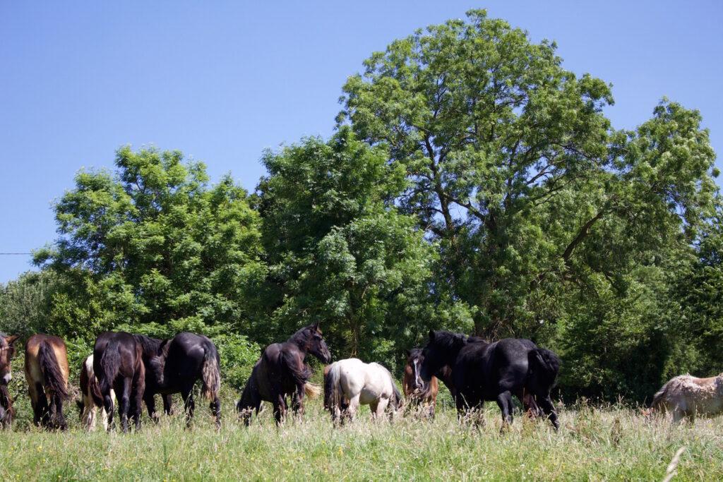 Stutenmilchfarm Chevalait Auf Pferde trifft man in der Normandie häufig Frankreich urlaub