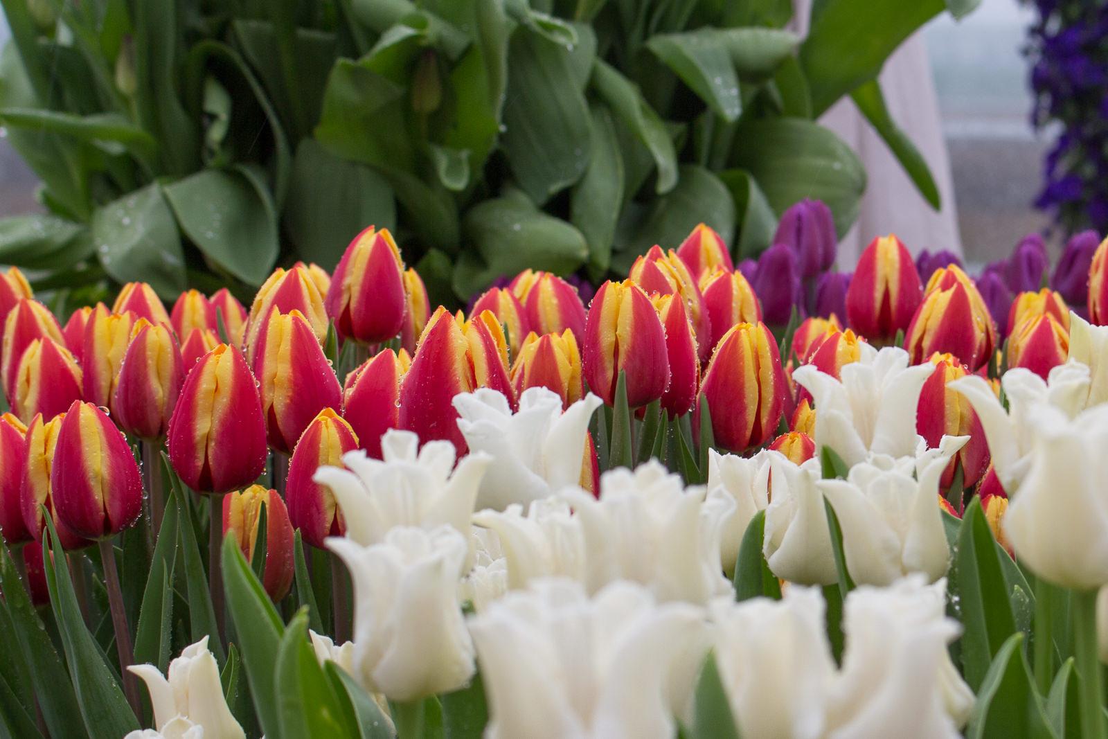 Flantuas, tulpen, flevoland, cabriotour, roadtrip, tulpenroute