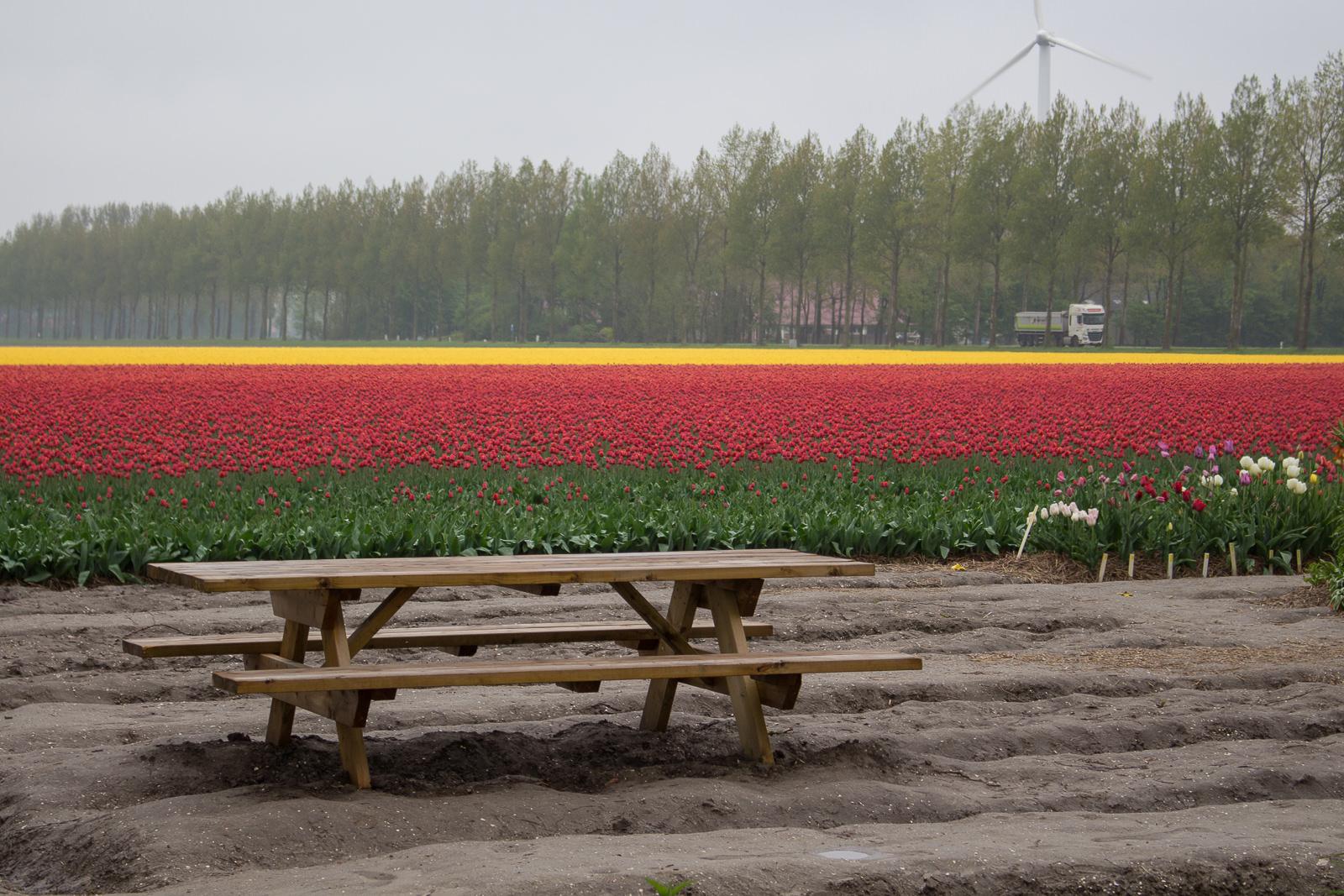 tulpen, flevoland, cabriotour, roadtrip, tulpenroute