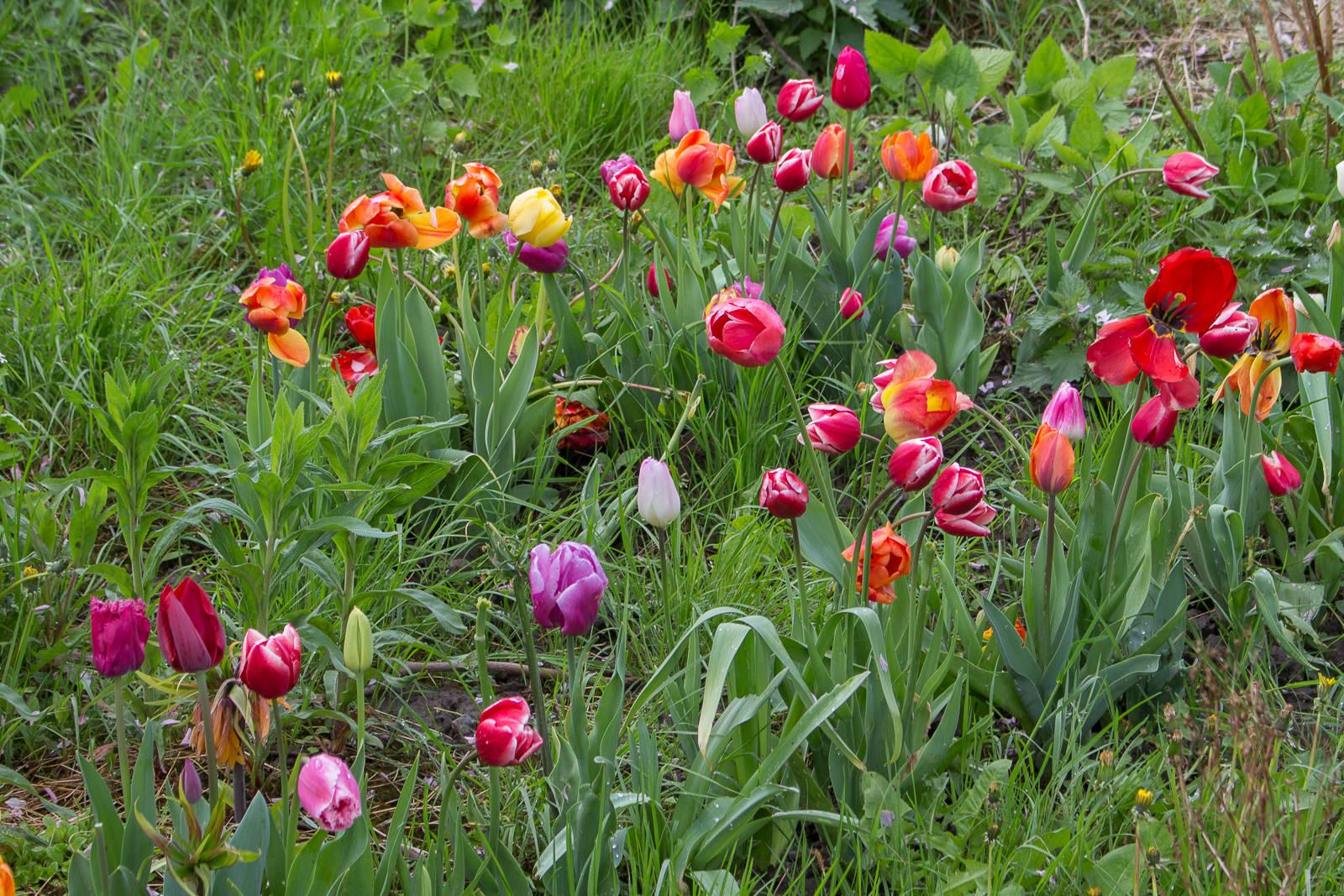 Hannekes Pluktuin, Pflückgarten, tulpen, flevoland, cabriotour, roadtrip, tulpenroute