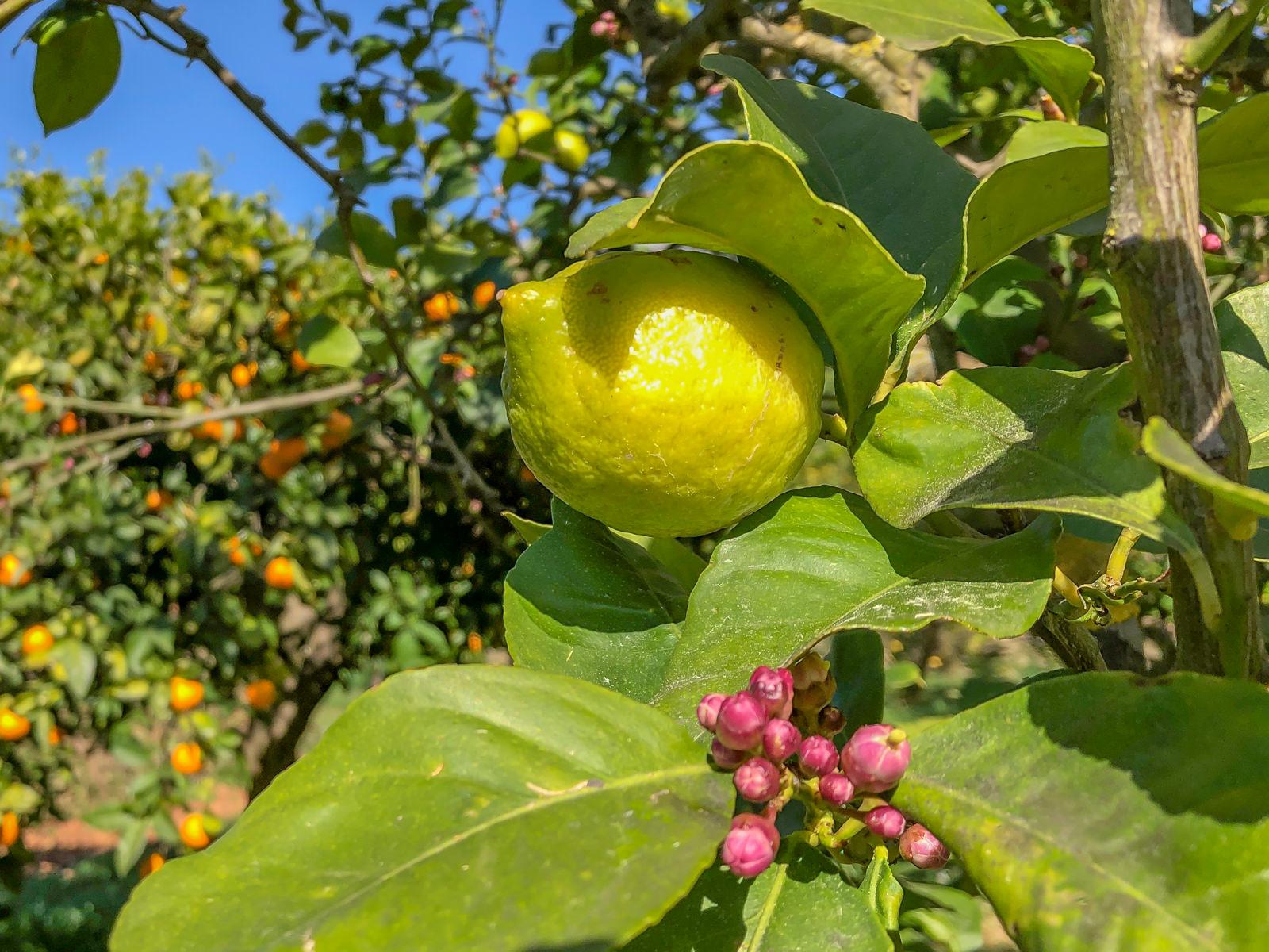 Mallorca Manufakturen, Orangen, Zitronen, Gin, Inselhelden