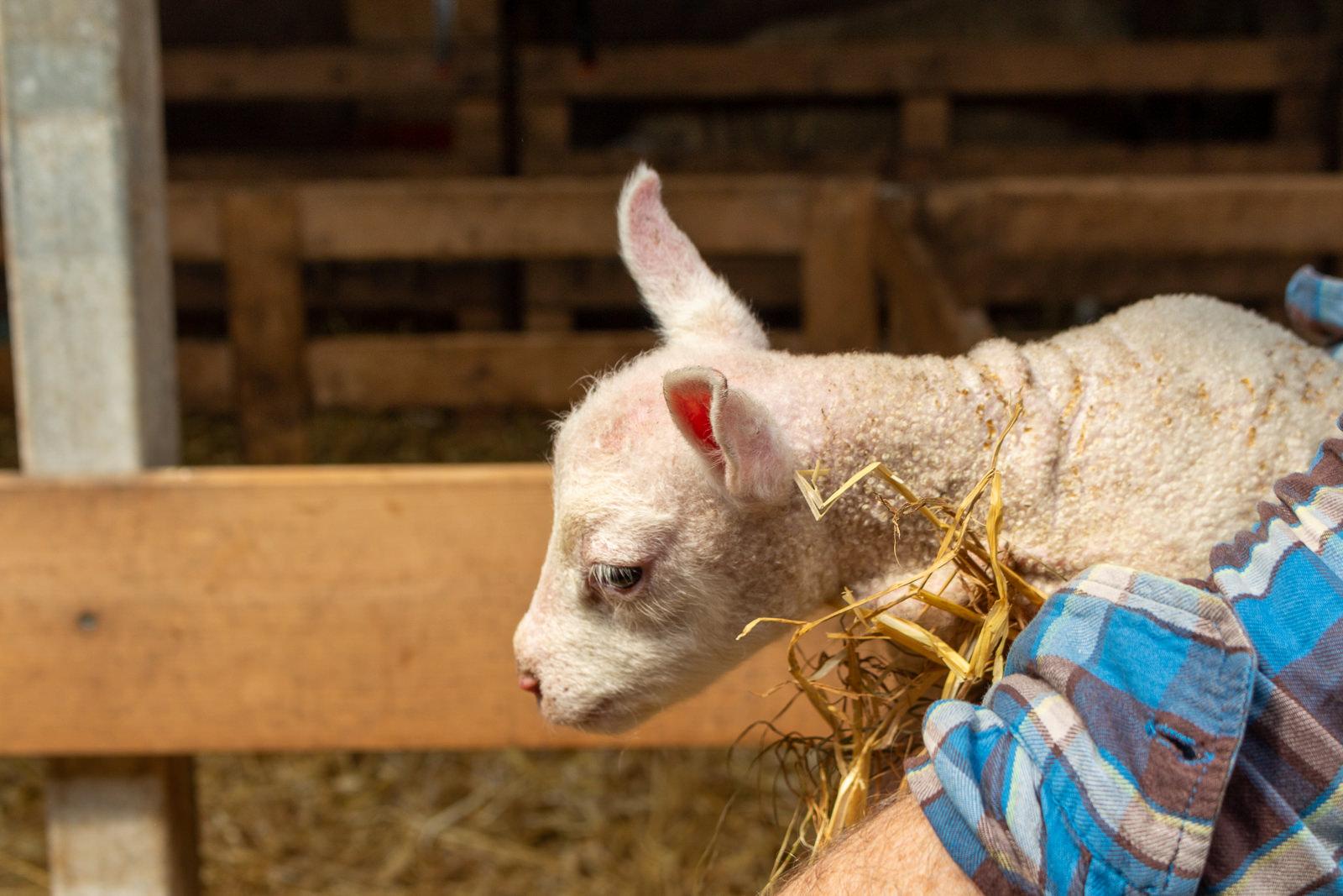 Texel, Schafe, Bauernhof, Schafsbauernhof, Schapenboerderij